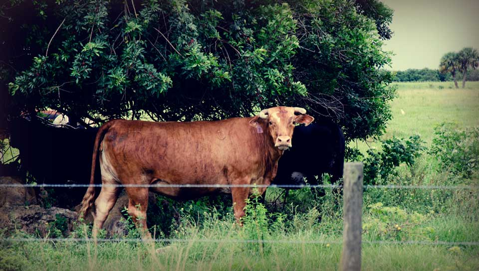 Cows outside LaBelle FL