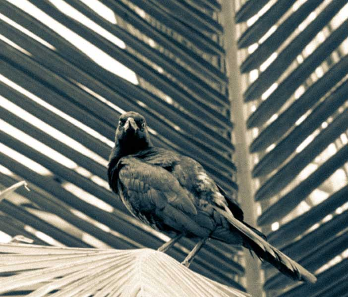 Crow in Palm Tree