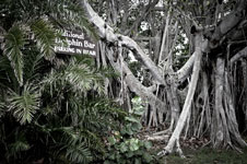 Banyan Tree at the Dolphin Bar Jensen Beach FL