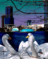 Captive Swan Boats Blue at Lake Eola